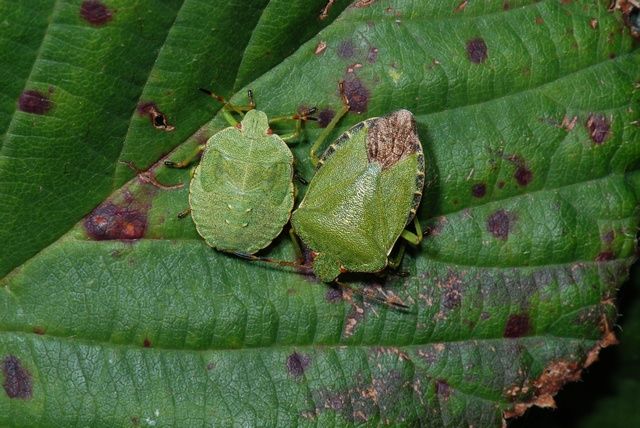 Green Shieldbug (Palomena prasina) photo