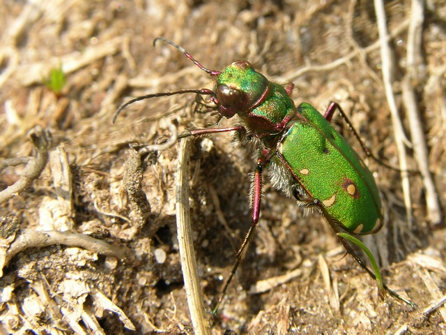 Green tiger beetle (Cicindela campestris) photo