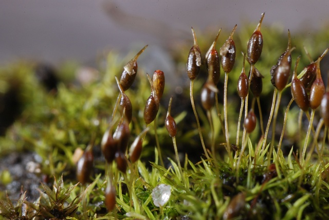 Green-tufted Stubble-moss (Weissia controversa) photo