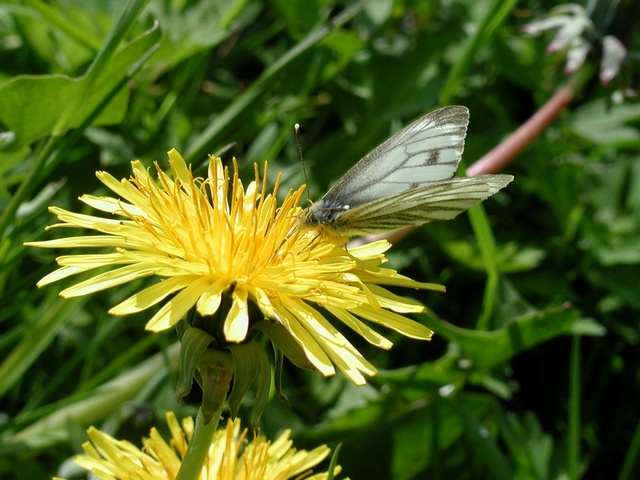 Green-veined White (Pieris napi) photo