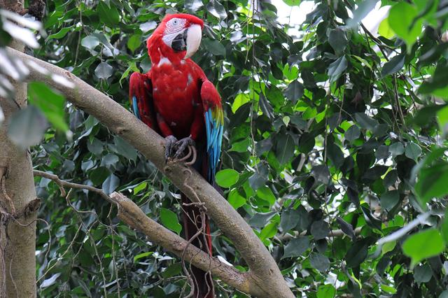 Green-winged Macaw (Ara chloropterus) photo