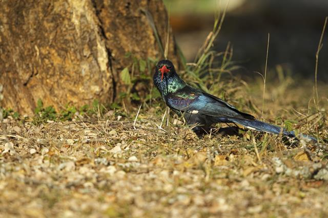 Green Wood Hoopoe (Phoeniculus purpureus) photo