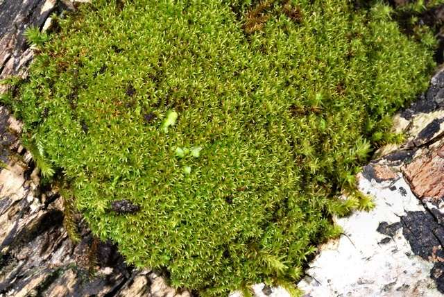 Green Yoke-moss (Zygodon viridissimus) photo
