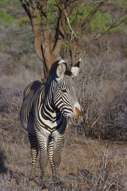 Grevys Zebra (Equus grevyi) photo