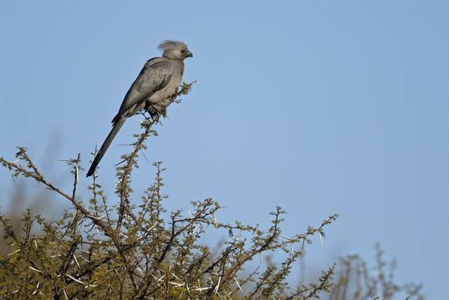 Grey Go-away-bird (Corythaixoides concolor) photo