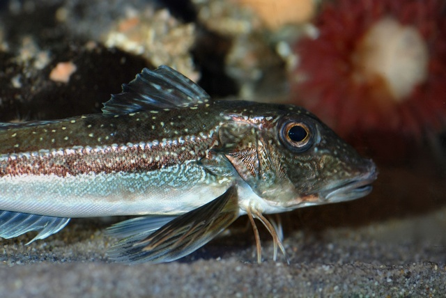 Grey gurnard (Eutrigla gurnardus) photo