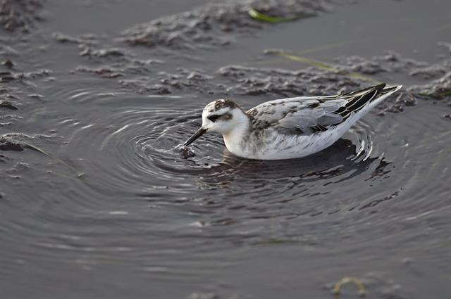 Grey Phalarope (Phalaropus fulicarius) photo