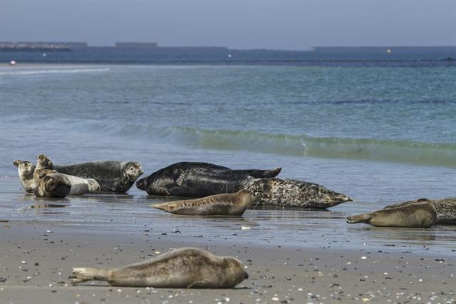 Grey Seal (Halichoerus grypus) photo