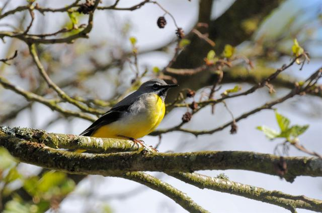 Grey Wagtail (Motacilla cinerea) photo