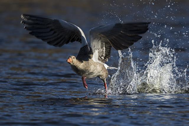 Greylag Goose (Anser anser) photo