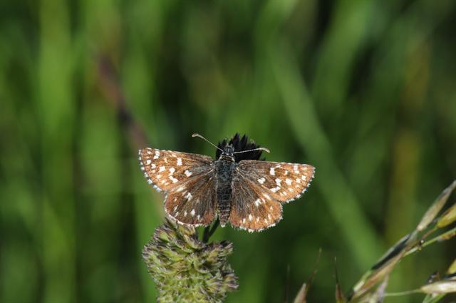 Grizzled Skipper (Pyrgus malvae) photo