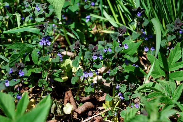Ground Ivy (Glechoma hederacea) photo