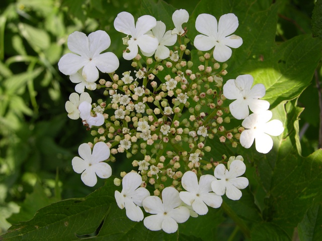 Guelder-Rose (Viburnum opulus) photo