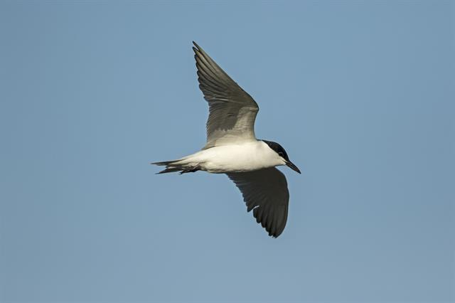 Gull-billed Tern (Gelochelidon nilotica) photo