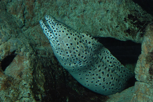 Leopard Moray Eel (Gymnothorax favagineus)