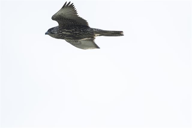 Gyr Falcon (Falco rusticolus) photo