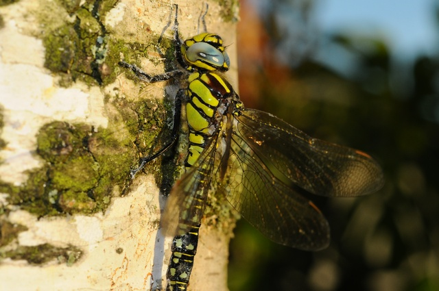 Hairy Dragonfly (Brachytron pratense) photo