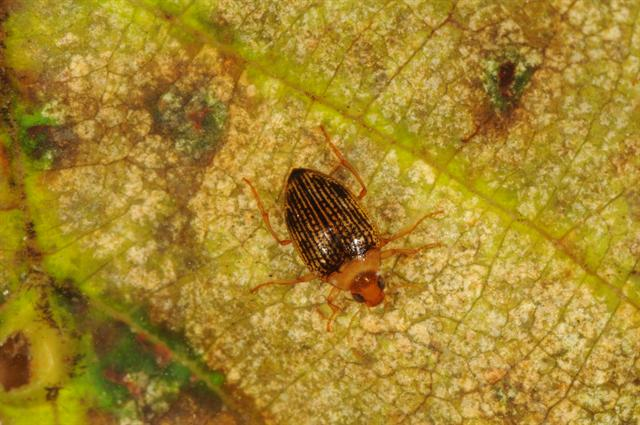 Haliplus immaculatus photo