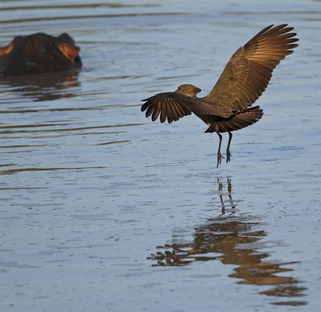 Hamerkop (Scopus umbretta) photo
