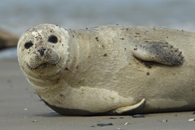 Harbor Seal (Phoca vitulina) photo