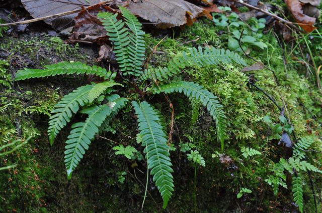 Hard Fern (Blechnum spicant) photo