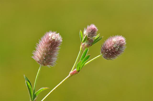 Hare´s-foot Clover (Trifolium arvense) photo