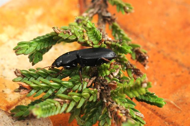 Harpalus anxius photo