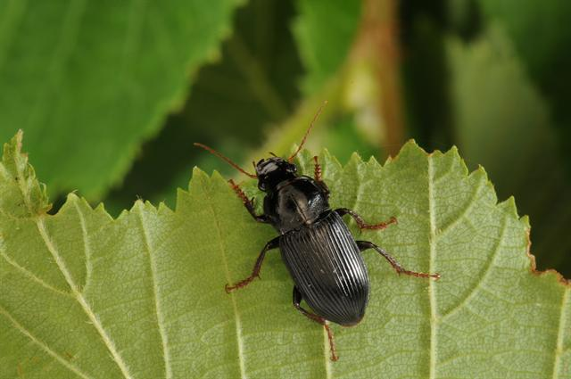 Harpalus calceatus photo