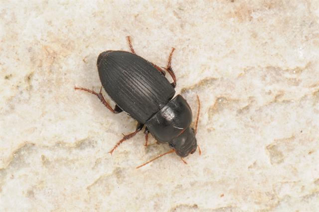 Harpalus tardus photo