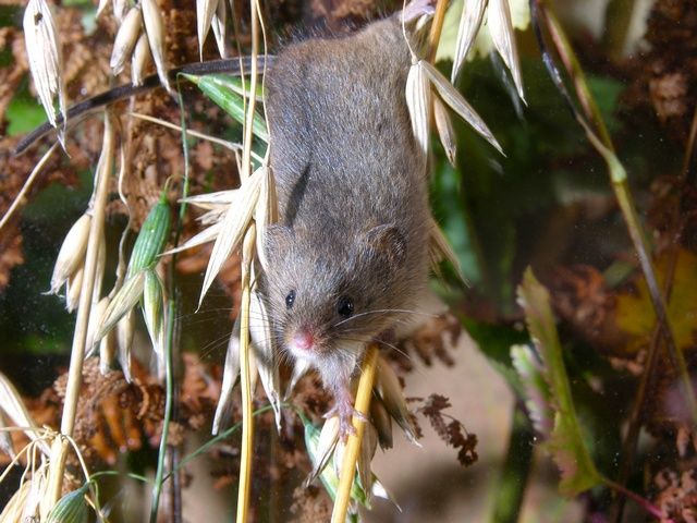 Harvest Mouse (Micromys minutus) photo
