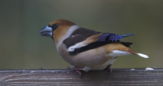 Hawfinch (Coccothraustes coccothraustes) photo