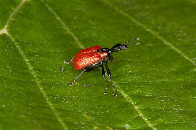 Hazel Leaf-roller Weevil (Apoderus coryli) photo