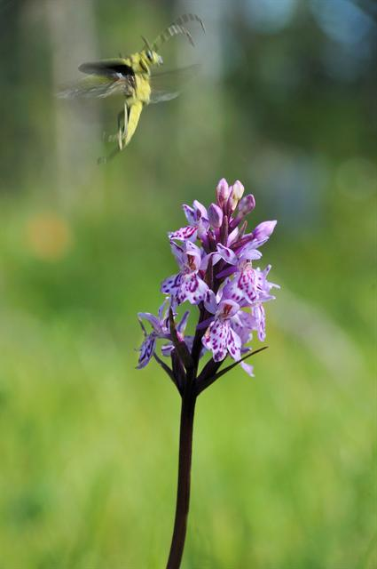 Heath Spotted-Orchid (Dactylorhiza maculata) photo