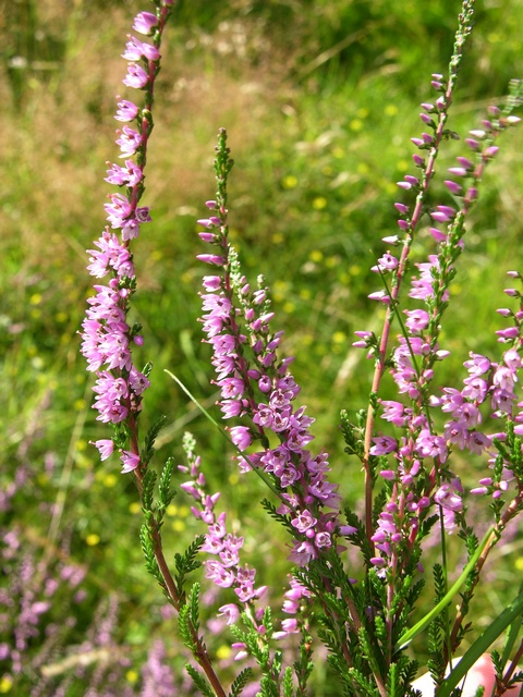 Heather, Ling (Calluna vulgaris) photo