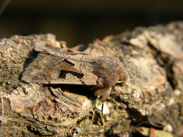 Hebrew Character (Orthosia gothica) photo