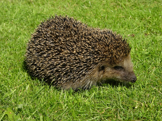 Hedgehog (Erinaceus europaeus) photo