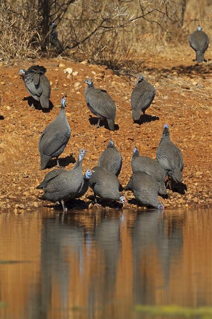 Helmeted Guineafowl (Numida meleagris) photo