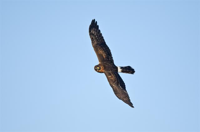 Hen Harrier (Circus cyaneus) photo