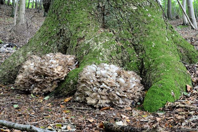 Hen of the Woods (Grifola frondosa) photo
