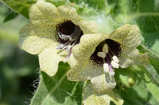 Henbane (Hyoscyamus niger) photo
