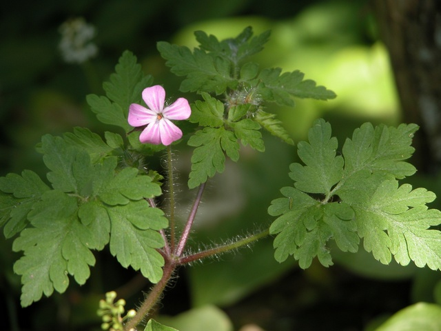 Herb Robert (Geranium robertianum) photo