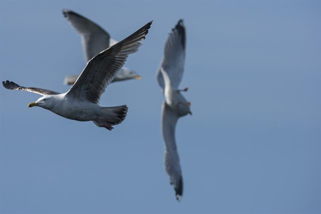 Herring Gull (Larus argentatus) photo