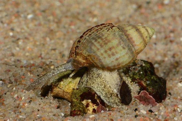Netted dog whelk (Hinia reticulata)
