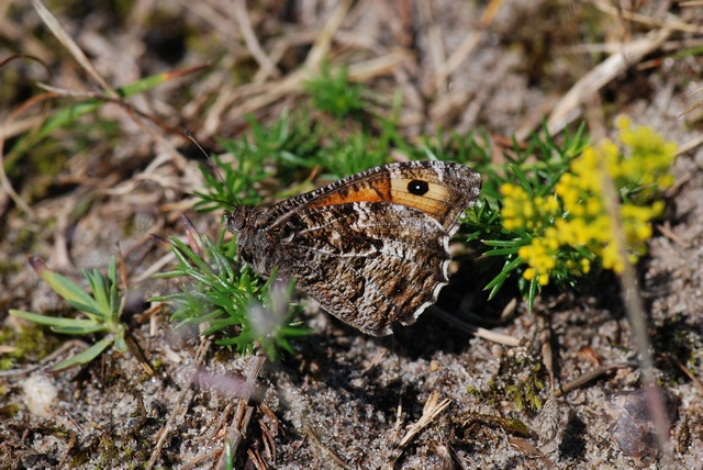 Rock Grayling (Hipparchia semele)