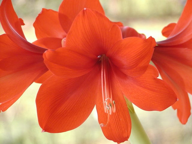 Hippeastrum vittatum photo