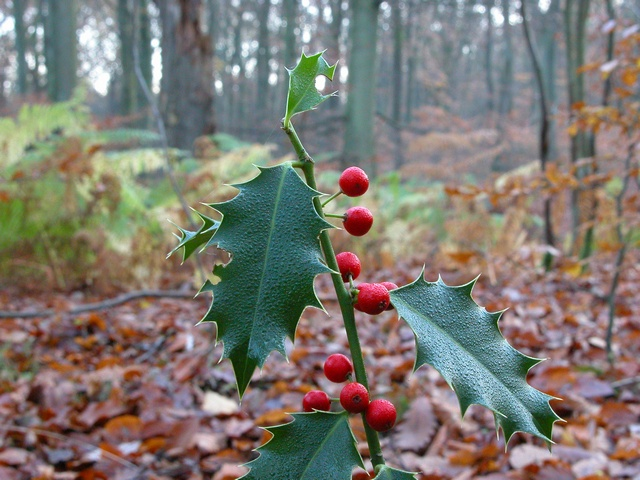 Holly (Ilex aquifolium) photo