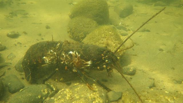 European lobster (Homarus gammarus)