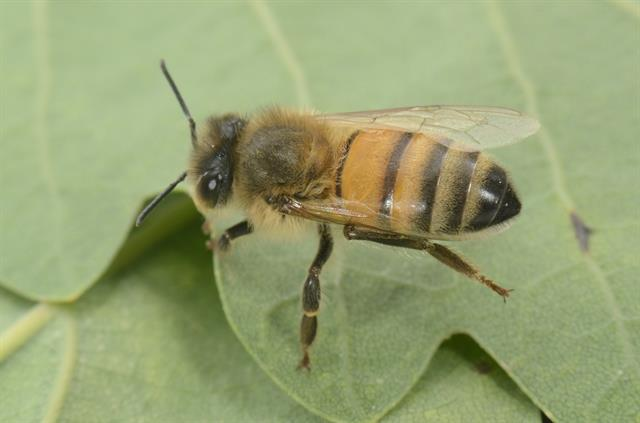 Honeybee (Apis mellifera) photo