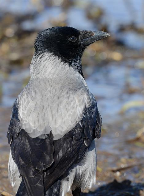Hooded Crow (Corvus corone cornix) photo