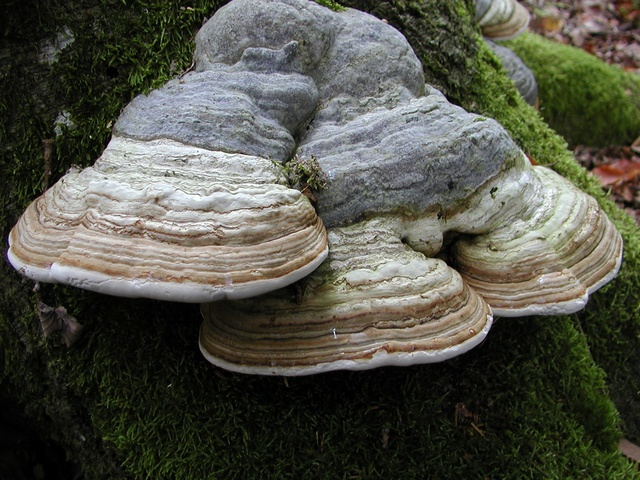 Hoof Fungus (Fomes fomentarius) photo